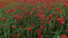 Campo de flor rojo de la amapola de las películas del abejón almacen de video