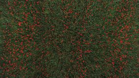 Campo de flor rojo de la amapola de las películas del abejón almacen de metraje de vídeo