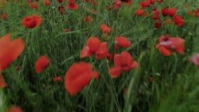 Campo de flor rojo de la amapola de las películas del abejón metrajes