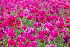 Campo de flor rosado Imágenes de archivo libres de regalías