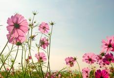Campo de flor rosado del cosmos Foto de archivo libre de regalías