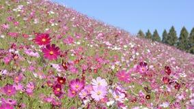 Campo de flor rosado del cosmos almacen de metraje de vídeo