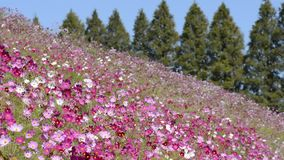 Campo de flor rosado del cosmos metrajes