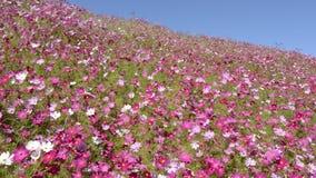 Campo de flor rosado del cosmos almacen de video