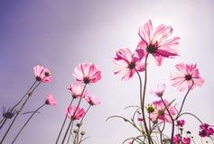 Campo de flor rosado del cosmos en otoño Imagenes de archivo