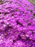 Campo de flor roxo Imagens de Stock