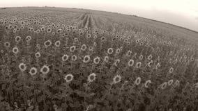 Campo de flor de Sun