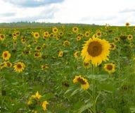 Campo de flor de Sun Foto de archivo libre de regalías