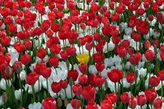 Campo de flor vermelha e branca imagem de stock