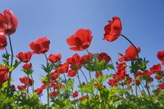 Campo de flor vermelho imagens de stock royalty free