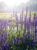 Campo de flor violeta Fotos de archivo libres de regalías