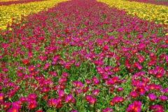 campo de flores Imagen de archivo libre de regalías