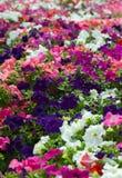 Campo de flores fotografía de archivo libre de regalías