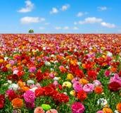Campo de flores Fotos de Stock Royalty Free