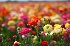 Campo de flores foto de archivo