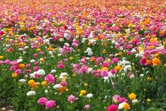 Campo de flores fotos de archivo libres de regalías