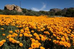 Campo de flores alaranjado Fotos de Stock Royalty Free