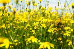 Campo de flores amarelas Fotografia de Stock Royalty Free
