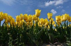 Campo de flores amarelas da tulipa Foto de Stock Royalty Free