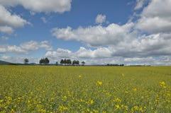 Campo de flores amarelas de Canola Foto de Stock Royalty Free