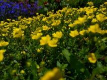 Campo de flores amarelas e roxas fotos de stock