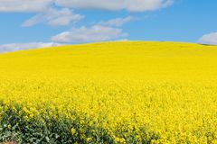 Campo de flores amarelas na mola imagem de stock royalty free