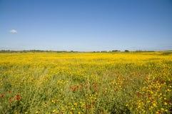 Campo de flores amarelo Imagem de Stock