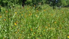 Campo de flores amarelo Imagens de Stock