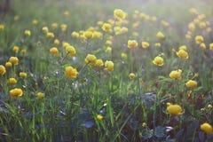 Campo de flores amarelo do botão de ouro Fotos de Stock Royalty Free