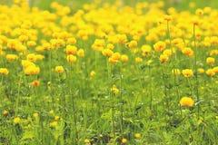 Campo de flores amarelo do botão de ouro Imagens de Stock Royalty Free
