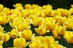 Campo de flores amarelo do tulip fotografia de stock royalty free
