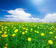 Campo de flores amarelo sob o céu nebuloso azul fotografia de stock royalty free