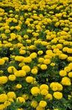 Campo de flores amarillas imagen de archivo libre de regalías