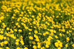 Campo de flores amarillas imagenes de archivo