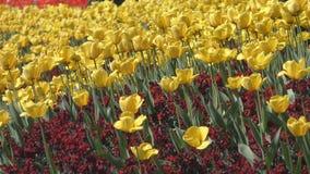 Campo de flores amarillas hermosas almacen de video
