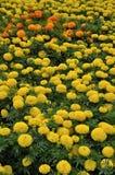 Campo de flores amarillas y anaranjadas imagen de archivo libre de regalías
