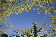 Campo de flores amarillo Fotografía de archivo