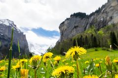 Campo de flores amarillo con las montañas de la nieve como fondo en Lauterbrunnen Fotos de archivo