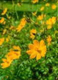 Campo de flores amarillo del cosmos Imagen de archivo libre de regalías