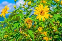 Campo de flores amarillo del diversifolia de Tithonia en el bosque de Tailandia Foto de archivo
