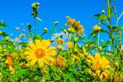 Campo de flores amarillo del diversifolia de Tithonia en el bosque de Tailandia Imagenes de archivo