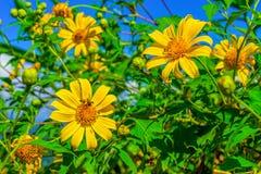 Campo de flores amarillo del diversifolia de Tithonia en el bosque de Tailandia Foto de archivo libre de regalías