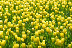 Campo de flores amarillo del tulipán foto de archivo