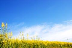 Campo de flores amarillo y fondo del cielo azul Imagen de archivo libre de regalías