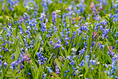 Campo de flores azuis da mola fotos de stock
