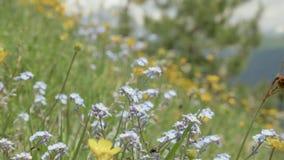 Campo de flores azul e amarelo nas montanhas, Geórgia vídeos de arquivo