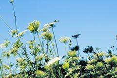 Campo de flores blancas agradables Foto de archivo libre de regalías