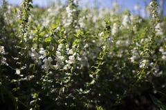 Campo de flores blancas minúsculas Imagen de archivo libre de regalías