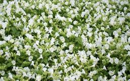 Campo de flores blancas Visión superior foto de archivo libre de regalías