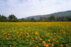Campo de flores cósmico anaranjado Imagen de archivo